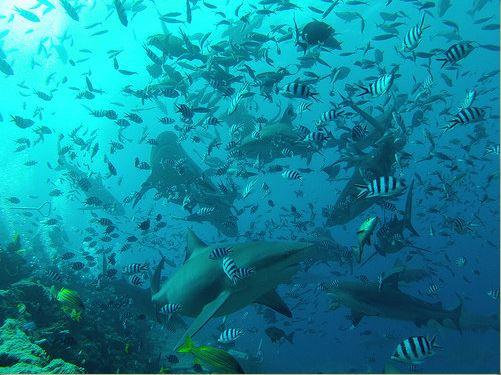 Broadreach Fiji Shark Feeding