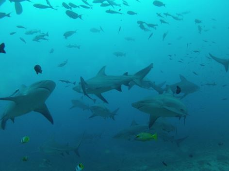 Broadreach Fiji Lots of Sharks