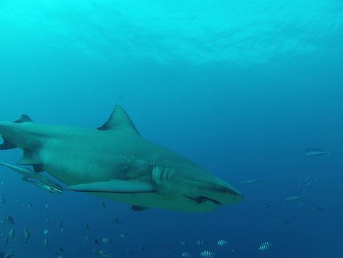 Broadreach Fiji Shark Close-up